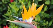 Oiseau-de-paradis-jardin-botanique-funchal