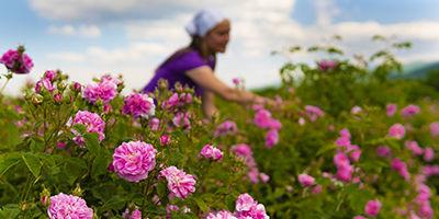 Récolte de roses en Bulgarie