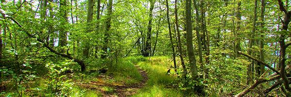 Une forêt de hêtres, en Slovénie